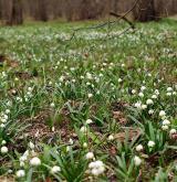 bledule jarní <i>(Leucojum vernum)</i> / Porost