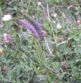 rozrazil vstavačovitý <i>(Pseudolysimachion orchideum)</i> / Habitus