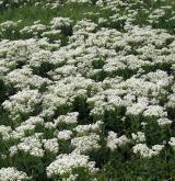 Vytrvalá ruderální vegetace na suchých nebo periodicky vysychavých půdách <i>(Convolvulo arvensis-Elytrigion repentis)</i> / Porost
