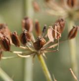 děhel bahenní <i>(Angelica palustris)</i>