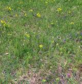 Acidofilní suché trávníky <i>(Koelerio-Phleion phleoidis)</i> / Porost