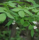 klokoč zpeřený <i>(Staphylea pinnata)</i> / Habitus