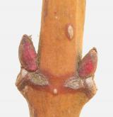 klokoč zpeřený <i>(Staphylea pinnata)</i> / Větve a pupeny