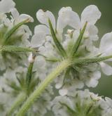 zapalička největší <i>(Tordylium maximum)</i> / Květ/Květenství