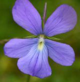 violka rohatá <i>(Viola cornuta)</i> / Květ/Květenství
