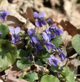 violka vonná <i>(Viola odorata)</i> / Habitus