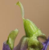 violka vonná <i>(Viola odorata)</i> / Květ/Květenství