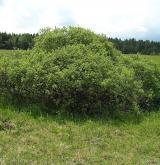 vrba ušatá <i>(Salix aurita)</i> / Habitus