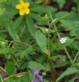 pupkovec pomněnkový <i>(Omphalodes scorpioides)</i>
