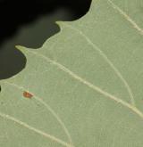 dub černomořský <i>(Quercus pontica)</i> / List