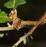 dub uherský <i>(Quercus frainetto)</i> / Větve a pupeny