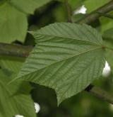 javor rezavožilný <i>(Acer rufinerve)</i> / List