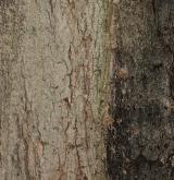 javor cukrový <i>(Acer saccharum)</i> / Borka kmene