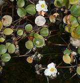 žabníček vzplývavý <i>(Luronium natans)</i> / Habitus
