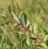 vrba borůvkovitá <i>(Salix myrtilloides)</i> / List