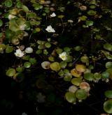 žabníček vzplývavý <i>(Luronium natans)</i> / Porost
