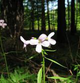 kyčelnice cibulkonosná <i>(Dentaria bulbifera)</i> / Květ/Květenství