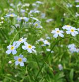 pomněnka bahenní <i>(Myosotis palustris agg.)</i> / Květ/Květenství