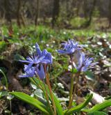 ladoňka dvoulistá <i>(Scilla bifolia)</i> / Habitus