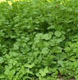 Ruderální vegetace poléhavých terofytů na živinami bohatých půdách <i>(Malvion neglectae)</i> / Porost