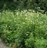 Nitrofilní ruderální vegetace vytrvalých širokolistých bylin <i>(Aegopodion podagrariae)</i> / Porost