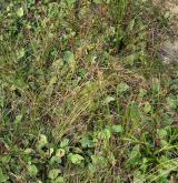 Poháňkové pastviny a sešlapávané trávníky <i>(Cynosurion cristati)</i> / Detail porostu