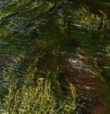 Vegetace makrofytů tekoucích vod <i>(Batrachion fluitantis)</i> / Porost
