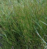 Mezofilní a vlhké slaniskové trávníky <i>(Juncion gerardii)</i> / Porost