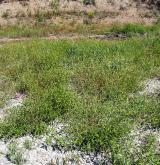 Nitrofilní vegetace obnažených den a vlhkých ruderálních stanovišť <i>(Bidention tripartitae)</i> / Porost