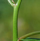 pomněnka bahenní <i>(Myosotis palustris)</i> / Stonek