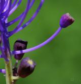 modřenec chocholatý <i>(Muscari comosum)</i> / Květ/Květenství