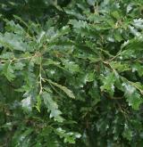 dub cer <i>(Quercus cerris)</i> / Habitus