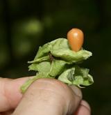 klokoč zpeřený <i>(Staphylea pinnata)</i> / Plod