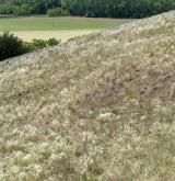Úzkolisté suché trávníky <i>(Festucion valesiacae)</i> / Porost