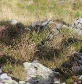 Alpínská keříčková vegetace <i>(Loiseleurio procumbensis-Vaccinion)</i> / Porost