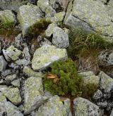 Vegetace silikátových sutí v subalpínském a alpínském stupni <i>(Androsacion alpinae)</i>