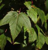 javor zašpičatělý <i>(Acer acuminatum)</i> / List