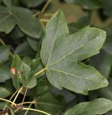 javor gruzínský <i>(Acer ibericum)</i> / List