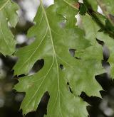 dub Kellogův <i>(Quercus kellogii)</i> / List