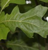 dub sametový <i>(Quercus velutina)</i> / List