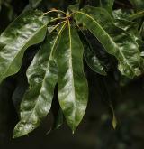 dub Leův <i>(Quercus ×leana)</i> / List