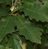 dub košilkovitý <i>(Quercus prinoides)</i> / List