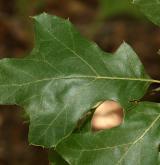 dub Rehderův <i>(Quercus ×rehderii)</i> / List