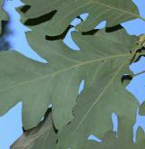 dub Schuetteův <i>(Quercus ×schuettei)</i> / List