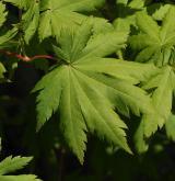 javor pseudosieboldianum <i>(Acer pseudosieboldianum)</i> / List