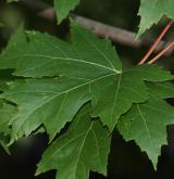 javor Freemanův <i>(Acer ×freemanii)</i> / List