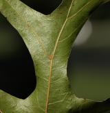 dub  <i>(Quercus ×exacta)</i> / List