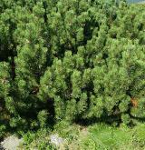 borovice kleč <i>(Pinus mugo)</i> / Detail porostu
