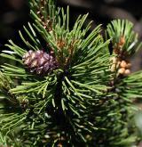 borovice kleč <i>(Pinus mugo)</i> / Plod