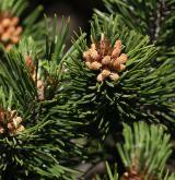 borovice kleč <i>(Pinus mugo)</i> / Květ/Květenství